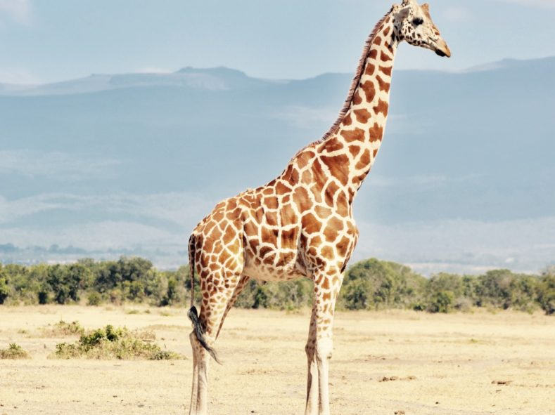 Giraffe in Samburu National Reserve