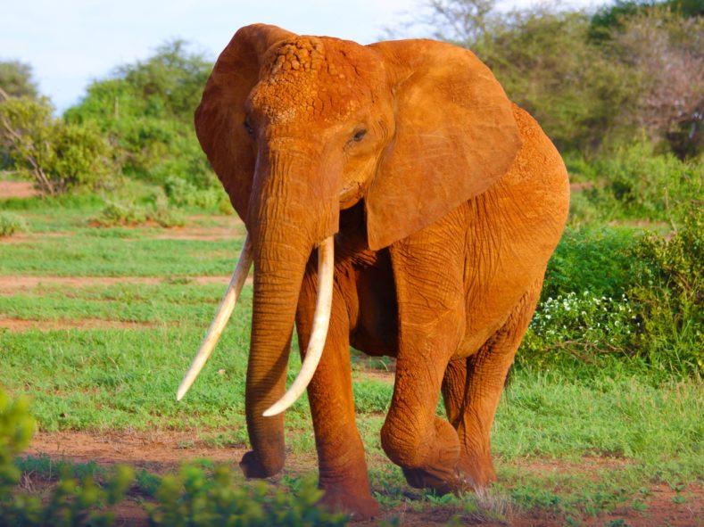 Elephant in Samburu National Reserve